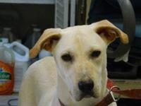 Labrador Retriever - Venus - Large - Young - Female -