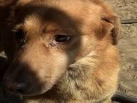 Labrador Retriever - Waggie - Medium - Adult - Female -