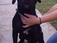 Labrador Retriever - Walter - Large - Young - Male -