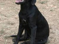 Labrador Retriever - Wiggles - Medium - Young - Female