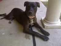 Labrador Retriever - Zero - Large - Young - Male - Dog