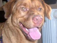 Labrador Retriever - Ziko - Medium - Adult - Male -