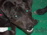 Labrador Retriever - Zoey - Large - Young - Female -