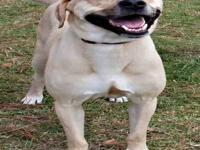 Labrador Retriever - Zoey - Medium - Young - Female -