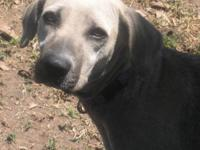 Labrador Retriever - Zonali - Medium - Young - Female -