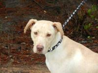 Labrador Retriever - Zuri - Large - Adult - Female -