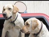 I am rehoming my two 8 month old female Labradors they