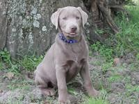 Silver Lab pups males and females AKC 6 week and 8 week