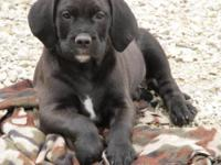 Adorable male and female Old English Bulldog x Labrador