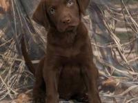 AKC Labrador Retrievers! I have a litter of beautiful