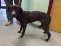 Labrador Retriever - A064584 - Medium - Young - Female