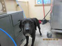 Labrador Retriever - A583344 - Large - Adult - Male -