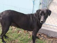 Labrador Retriever - A585441 - Medium - Adult - Male -