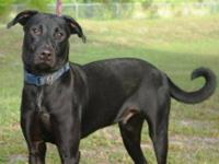 Labrador Retriever - A592010 - Large - Young - Male -