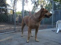 Labrador Retriever - A592824 - Medium - Adult - Female