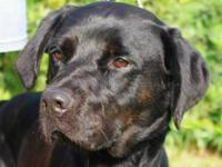 Labrador Retriever - A595405 - Large - Adult - Male -