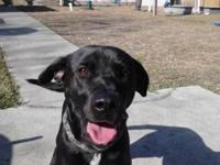 Labrador Retriever - A597970 - Large - Adult - Female -