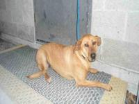 Labrador Retriever - Alicia - Medium - Young - Female -
