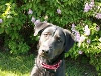 Labrador Retriever - Annie - Medium - Adult - Female -