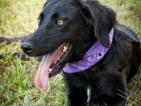 Labrador Retriever - Bernadette - Medium - Young -