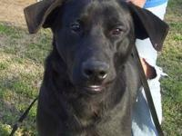 Labrador Retriever - Bob - Large - Young - Male - Dog