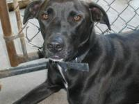 Labrador Retriever - Bootsie - Medium - Adult - Female