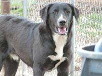Labrador Retriever - Chevy - Large - Adult - Female -