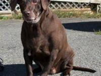 Labrador Retriever - Cocoa - Large - Young - Female -
