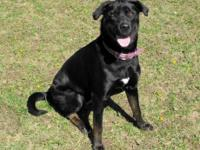 Labrador Retriever - Curtis - Large - Young - Male -