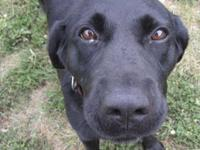 Labrador Retriever - Daisy - Large - Adult - Female -