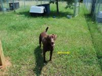 Labrador Retriever - Dolly - Large - Young - Female -