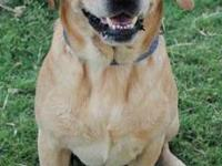 Labrador Retriever - Eli - Medium - Adult - Male - Dog