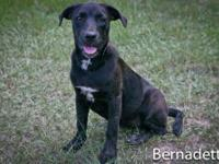 Labrador Retriever - Hope - Medium - Young - Female -