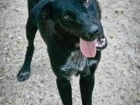 Labrador Retriever - Jagger - Medium - Young - Male -