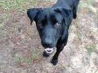 Labrador Retriever - Joe Aka Snoopy - Medium - Young -
