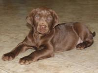 Labrador retriever puppy litter female and males call