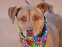 Labrador Retriever - Marley - Large - Adult - Female -