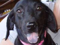 Labrador Retriever - Missy - Large - Young - Female -