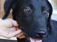 Labrador Retriever - Nikki - Large - Young - Female -