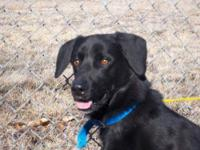 Labrador Retriever - Oso - Medium - Adult - Male - Dog