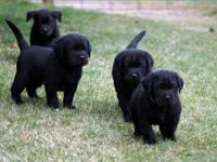 I have one male and one female black Labrador Retriever