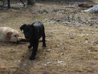 AKC Black female lab puppy great with kids and elder,