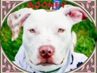 Labrador Retriever - Rooney - Medium - Adult - Male -