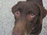 Labrador Retriever - Rosie - Large - Adult - Female -