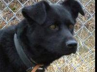 Labrador Retriever - Roxy - Large - Adult - Female -