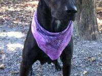 Labrador Retriever - Sadie - Large - Adult - Female -