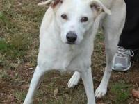 Labrador Retriever - Sandy - Medium - Adult - Female -