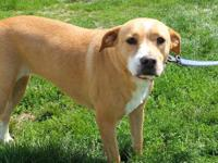Labrador Retriever - Tyson - Large - Young - Male -