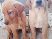 Beautiful yellow labrador retrievers will go fast, with