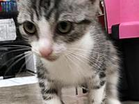 Lace's story Primary Color: Grey Tabby Secondary Color: